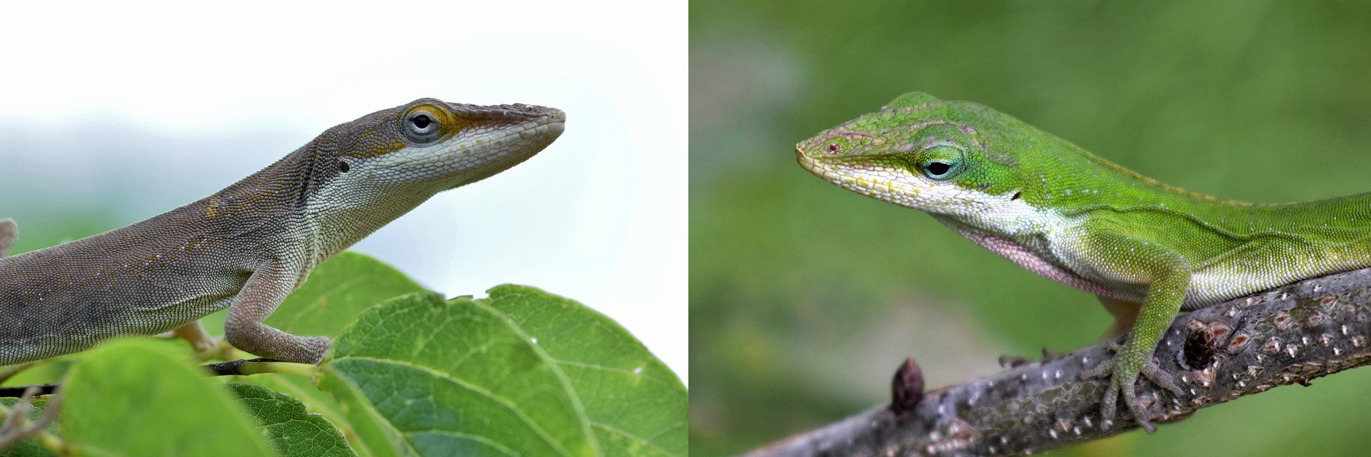 Carolina Anoles Green and Brown Color Morphs