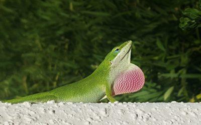 Lizards in Myrtle Beach?
