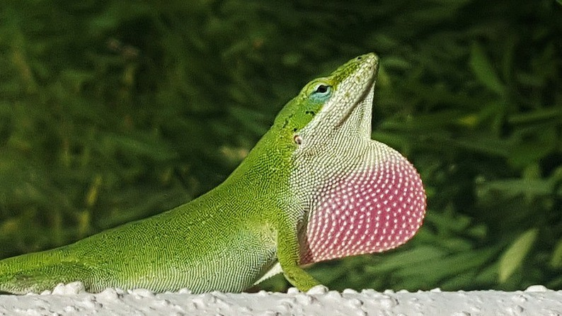 Green Anole displaying throat fan